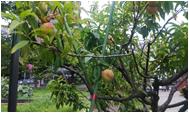 昭和電工で伝十郎桃収穫